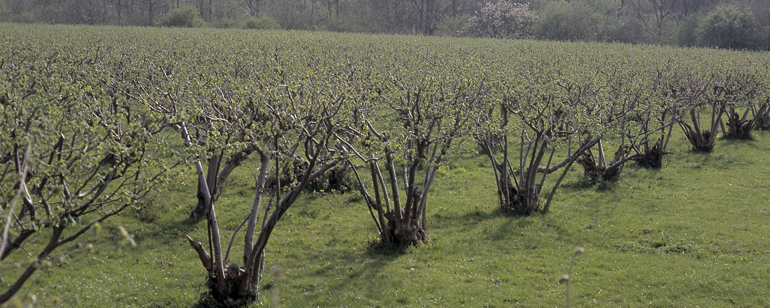Cobnut Trees - Suppliers