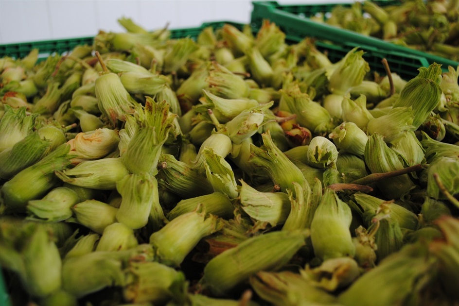 Cobnuts - A Cobnut is a cultivated variety of hazelnut
