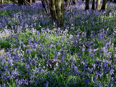 Wild Bluebell Seeds