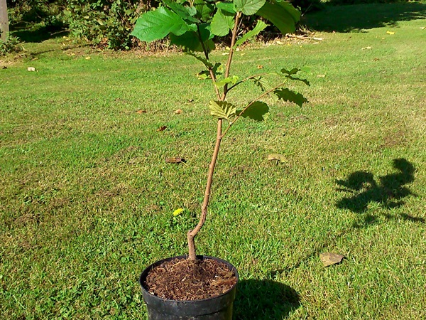 Cobnut Trees and Other Produce