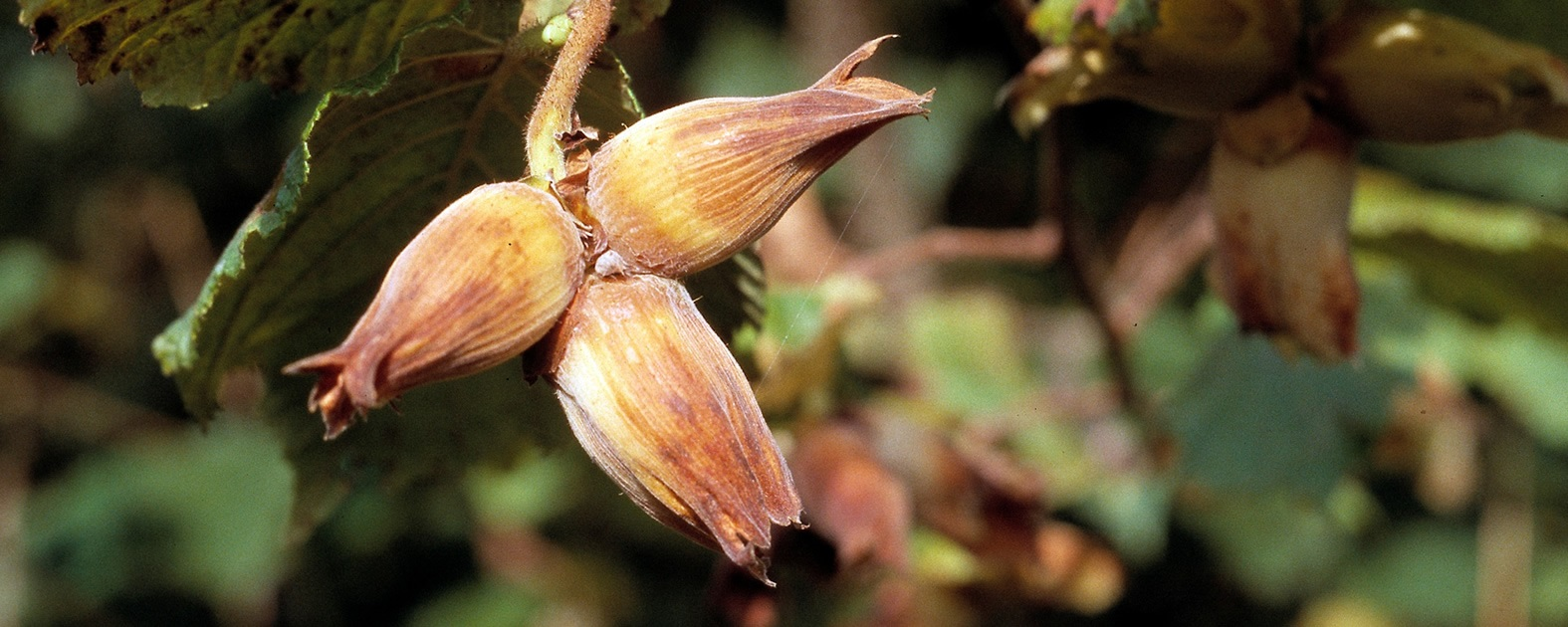 Kentish Cobnuts - Suppliers
