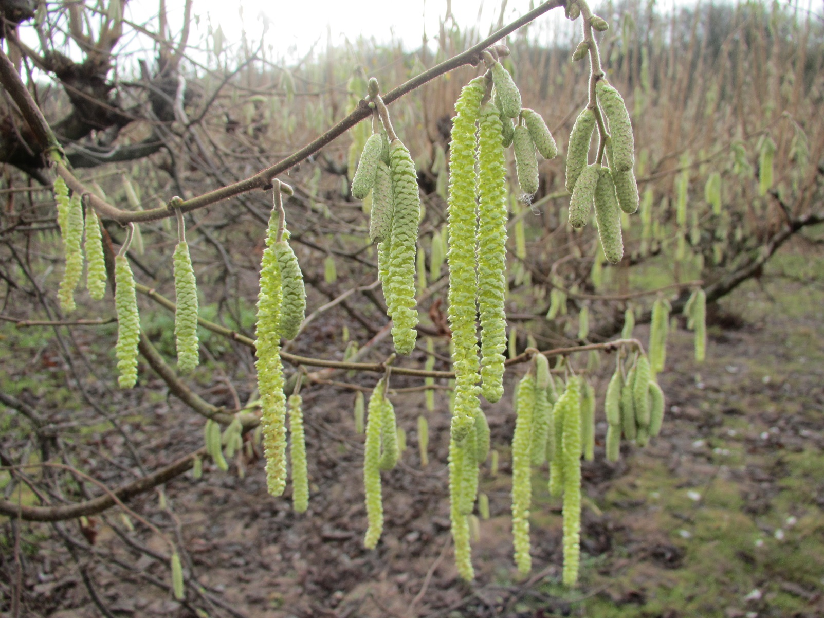 The male flowers, called catkins